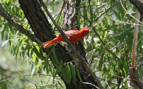 Summer-Tanager-California-Gulch-11-0814-01.jpg